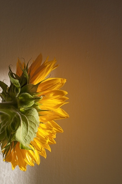 light on sunflower