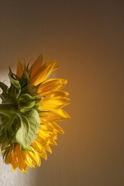 light on sunflower