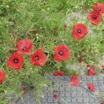 poppies of klaprozen