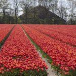 rode tulpen in Noord Holland