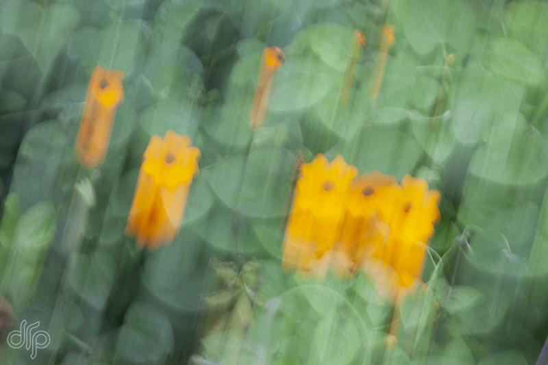 blurred-Thunbergia-alata.jpg