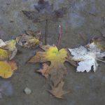 autumn leaves in Vondelpark