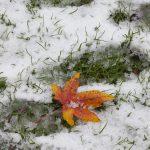 orange leaf in the snow, Vondelpark, Amsterdam