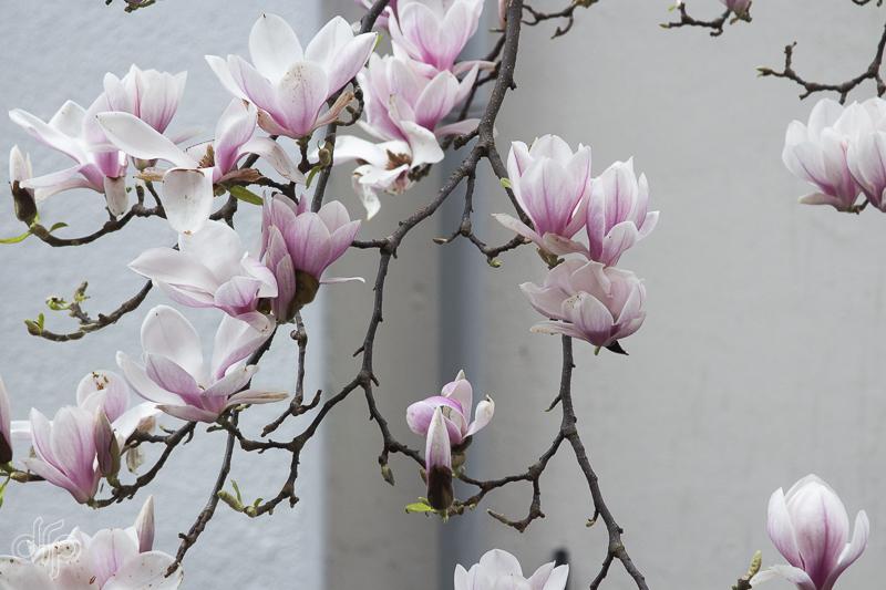 blooming-magnolia-III.jpg