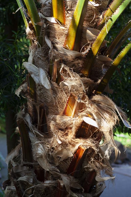 Austrialian fan palmtree